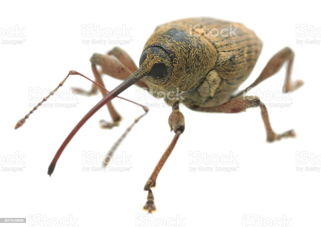 Macro photo of a nut weevil, Curculio nucum isolated on white background stock photo
