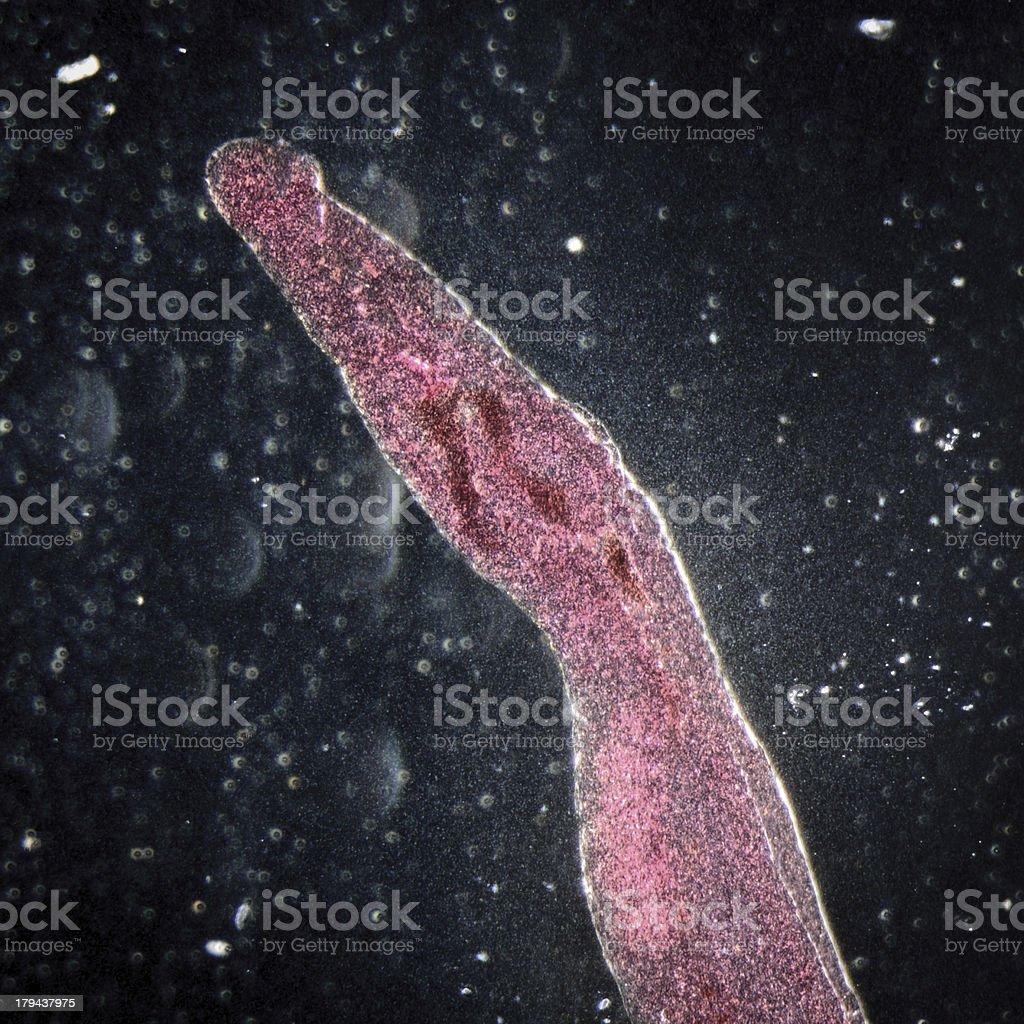 Macro photo of a parasitic schistosomes blood fluke royalty-free stock photo