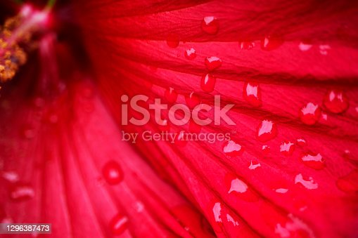 Macro photo of a red lily petal in dew drops. There is a space for text.