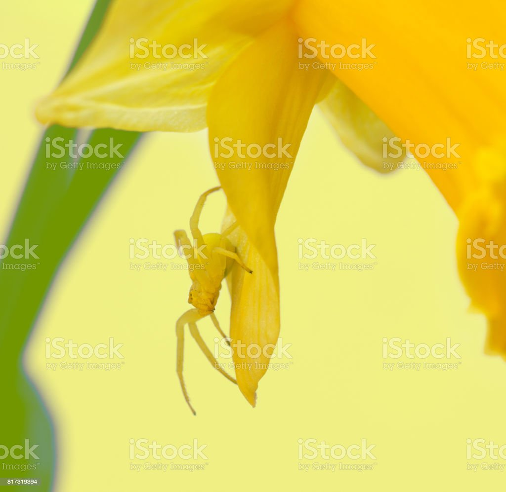 Macro Photo Of A Small Yellow Spider In The Petals Of A Narcissus