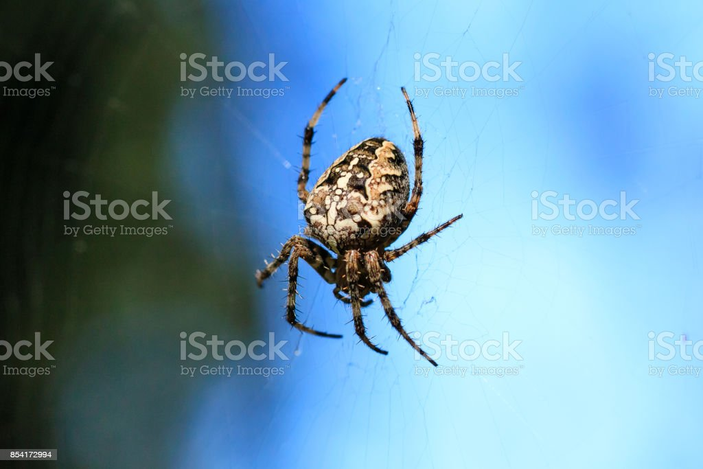 Macro photo of a spider close-up. A spider weaves a spider web. Araneus close-up sits on a cobweb. A photo of a Araneus diadematus in glitter. A forest Cross spider against the background of wildlife. stock photo
