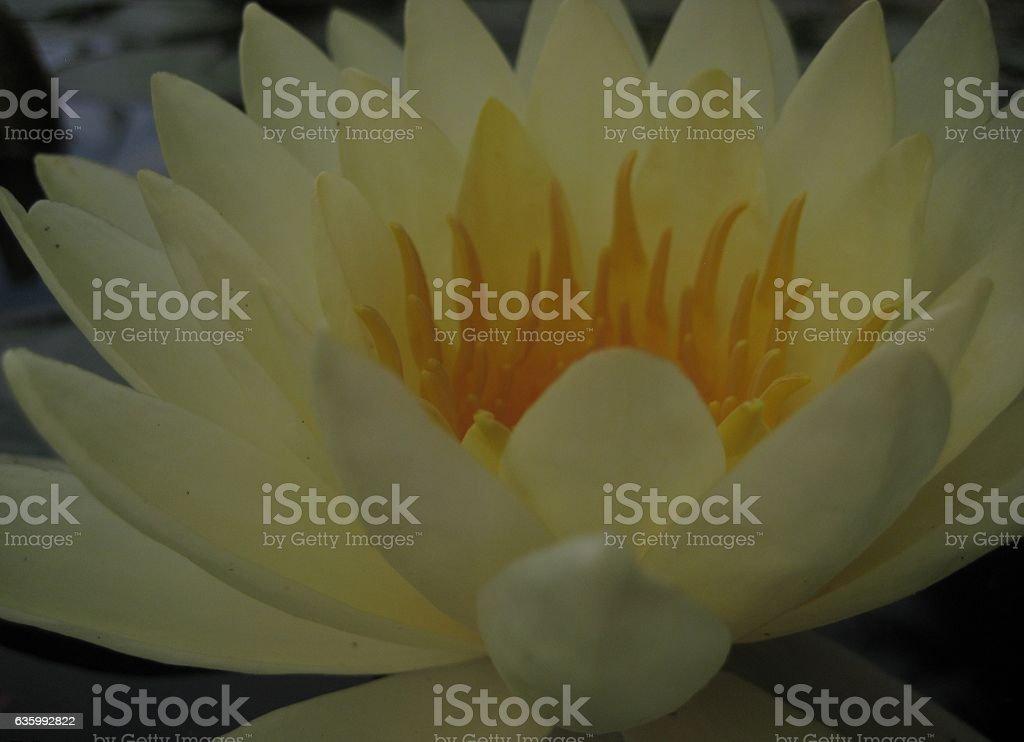 macro photo of a white Lotus flower stock photo