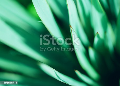 Macro photo of agave leaves. Plant texture. close up.