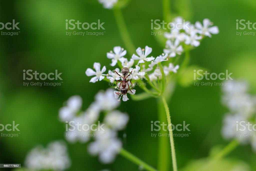 Macro photo of an ant on a white flower. Ant closeup crawling on the flower on the green background. Forest ant. royalty-free stock photo