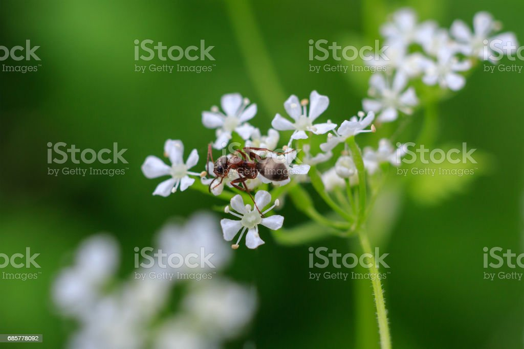 Macro photo of an ant on a white flower. Ant closeup crawling on the flower on the green background. Forest ant. photo libre de droits