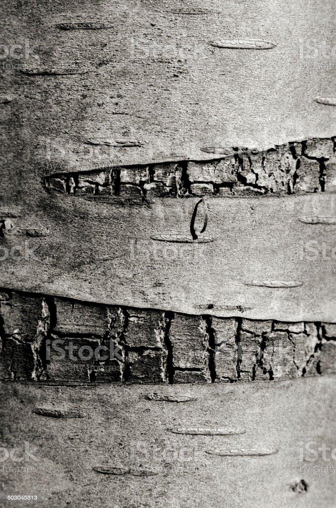Macro photo of Birch bark stock photo