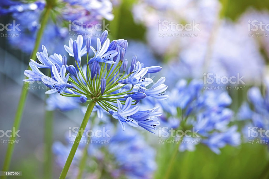 Macro photo of bright blue Agapanthus flowers in the garden stock photo