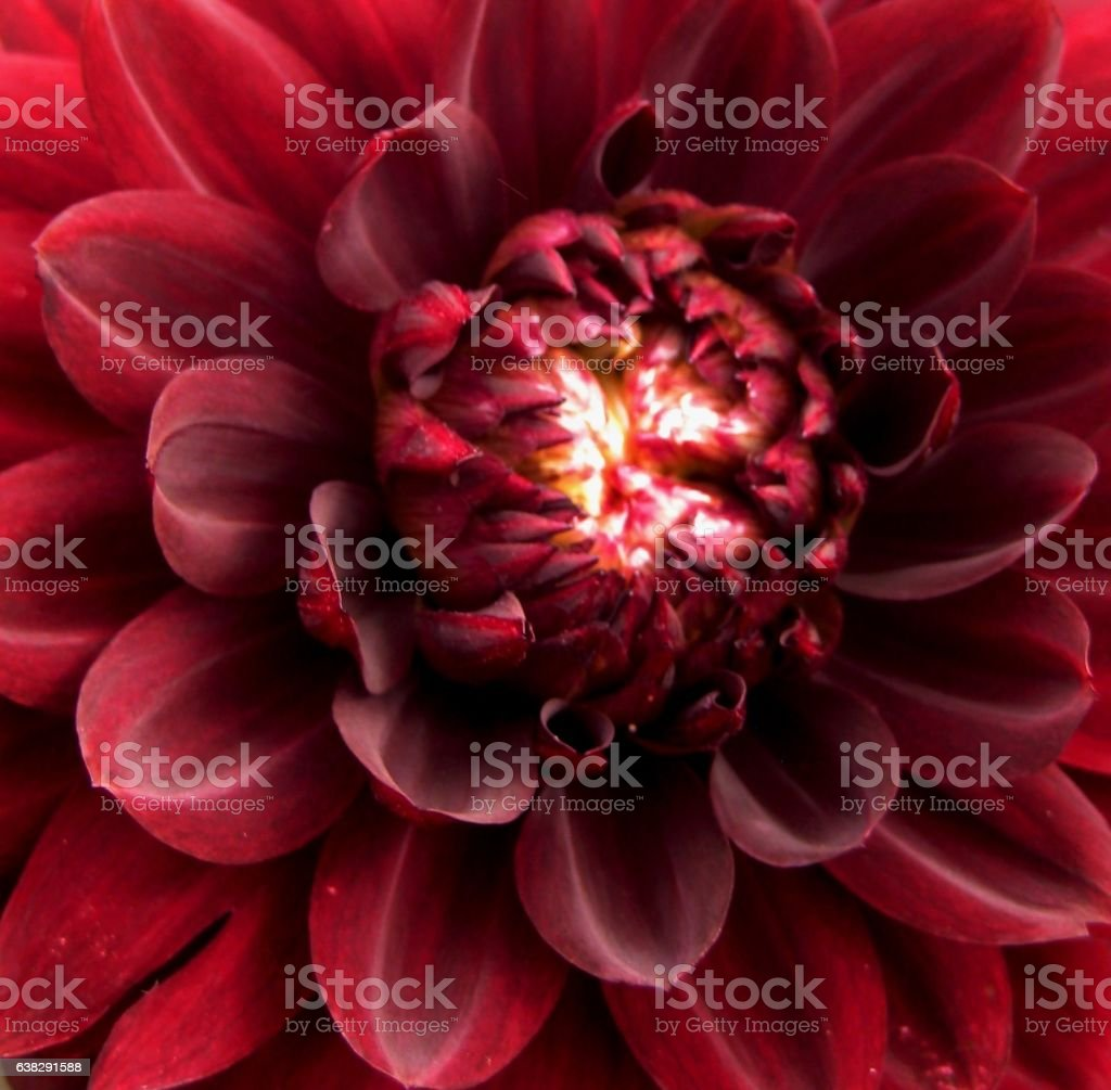 macro photo of bright decorative flower petals Dahlia stock photo