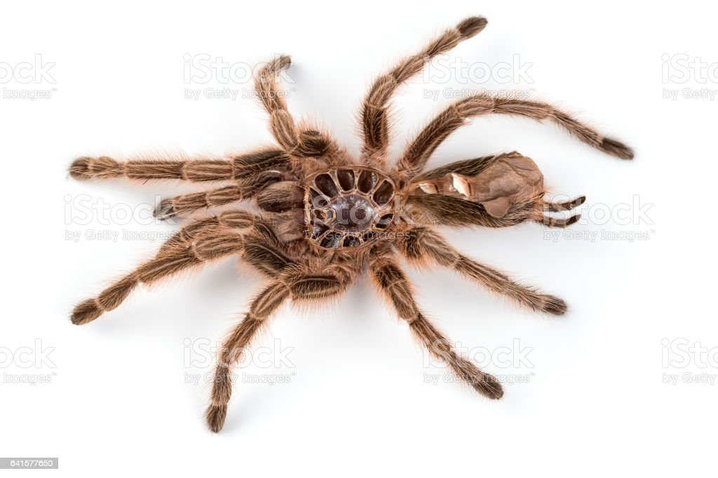 Macro photo of brown spider's moult stock photo