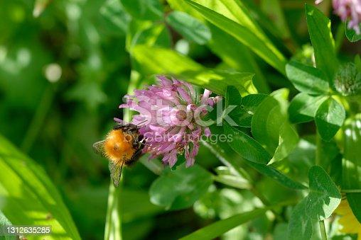 istock Macro photo of  Bumblebee working on Flower 1312635285