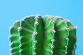 Cactus nipple-cactus (Mamillaria). Natural structural shapes and thorn pattern.