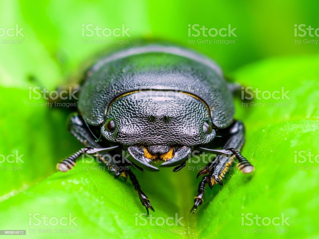 Macro Photo of Dark Beetle Insect on Green Leaf Background - Royalty-free Animal Stock Photo