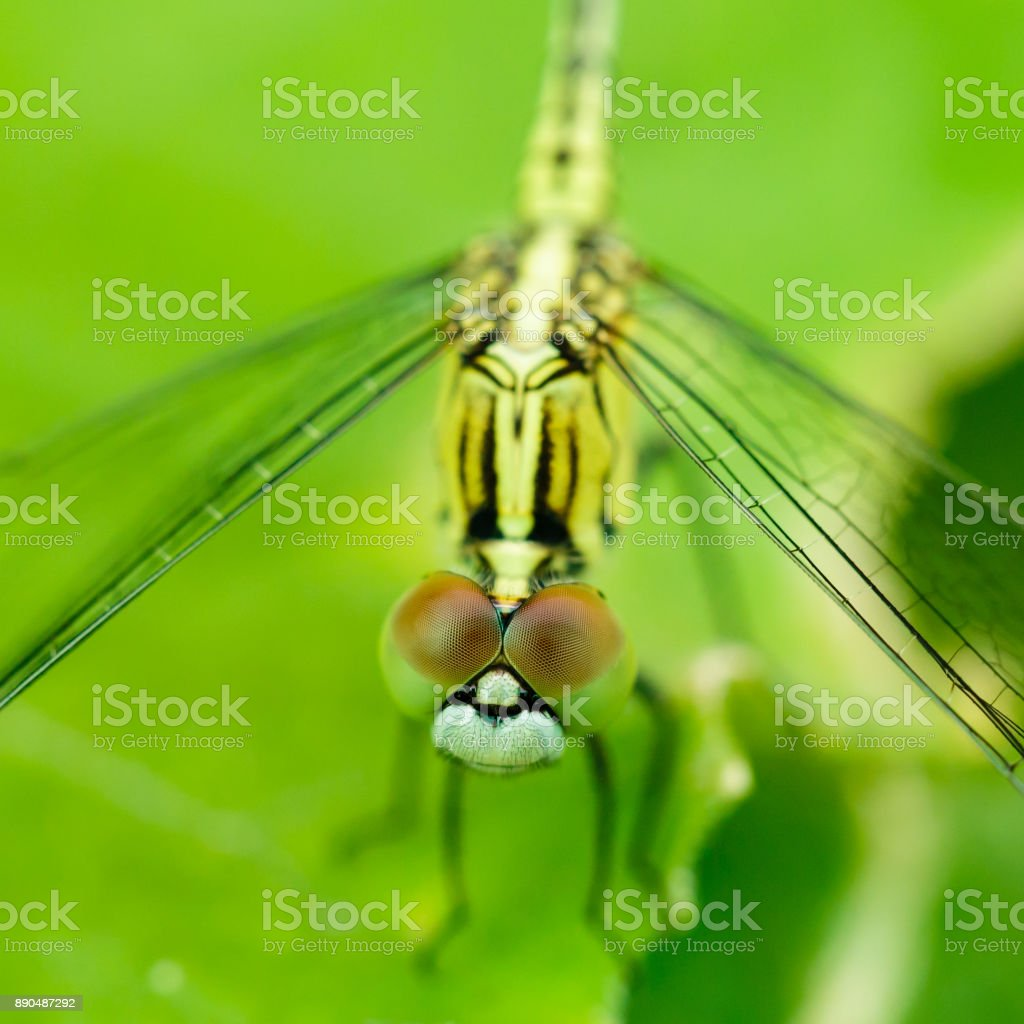 Macro photo of dragonfly on leaf, dragonfly is insect in arthropoda phylum, Insecta, dragonfly are characterized by large multifaceted eyes, two pairs of strong transparent wings., Selective focus. stock photo