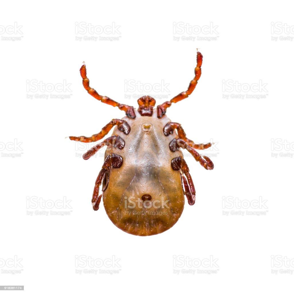 Macro Photo of Encephalitis or Lyme Virus Infected Tick Arachnid Insect Isolated on White stock photo