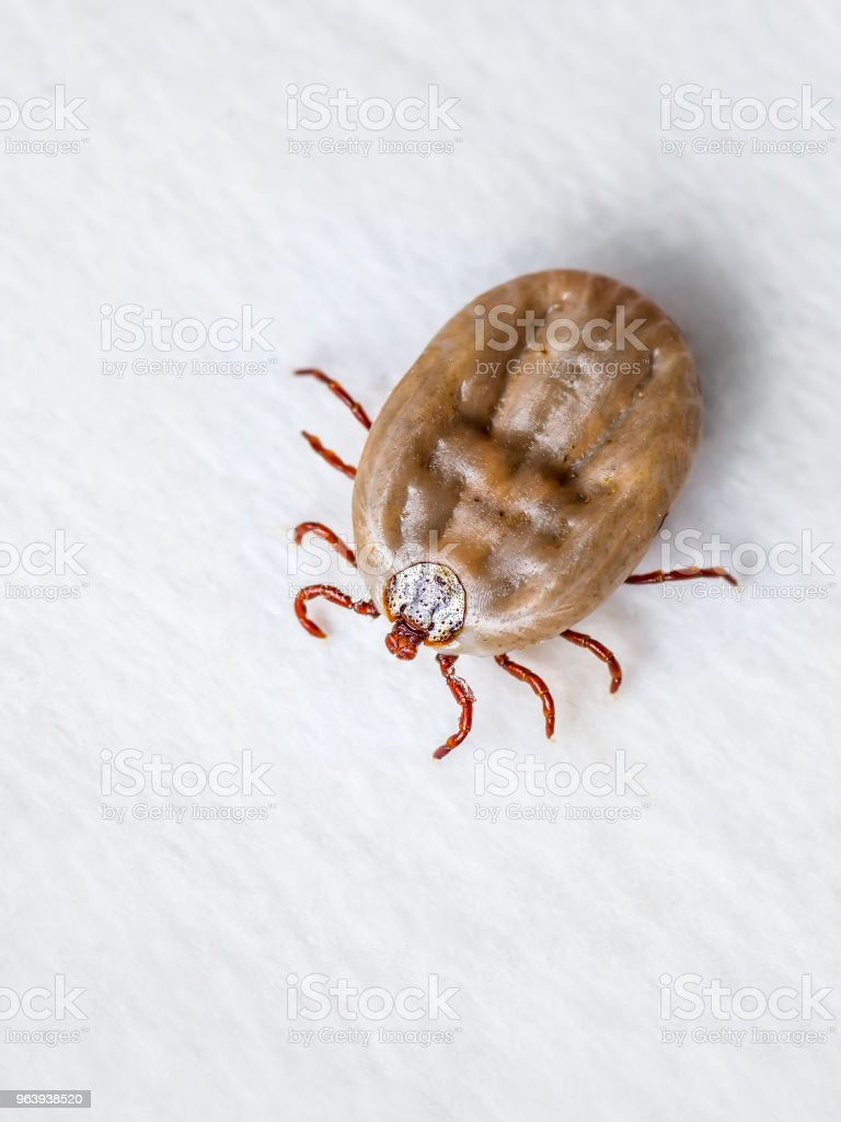 Macro Photo of Encephalitis Virus or Lyme Disease Infected Tick Arachnid Insect Pest Crawling on White Background - Royalty-free Allergy Stock Photo