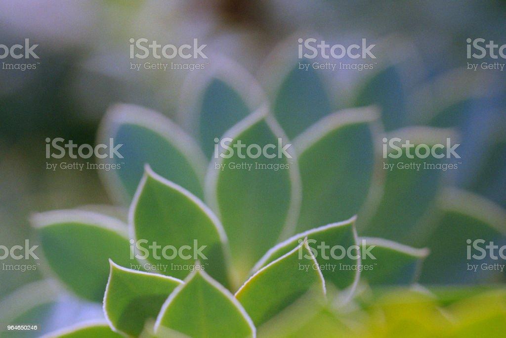 Macro photo of geometry, fractal form euphorbiaceae leaves. Shot on film royalty-free stock photo