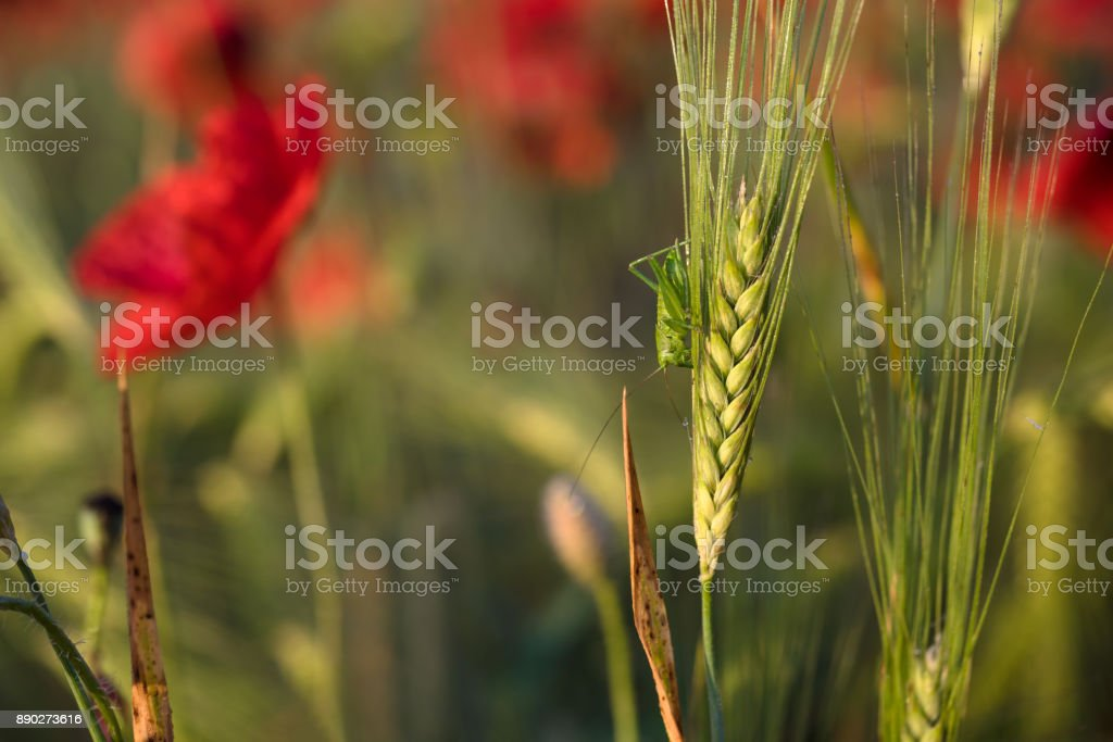 Macro photo of green wheat spikelet at sunset. Green grasshopper sits on wheat. Wheat field with red poppies stock photo