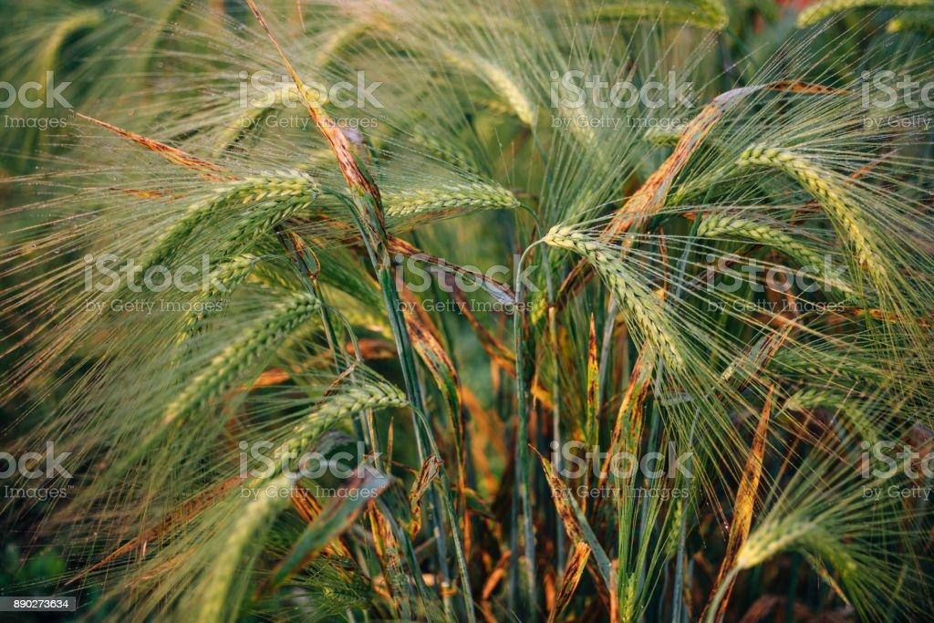 Macro photo of green wheat spikelet at sunset. Wheat field at sunrise stock photo