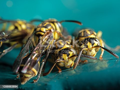 1125541278istockphoto Macro Photo of Group of Wasps on Blue Green Metal Material 1056663894