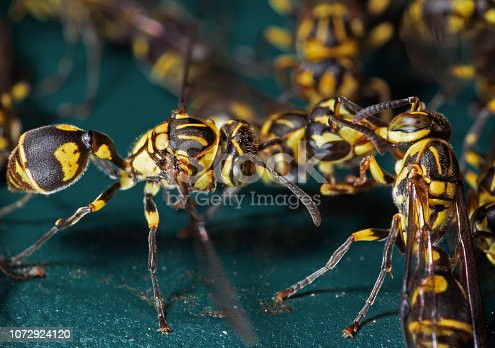 1125541278 istock photo Macro Photo of Group of Wasps on Blue Green Metal Material 1072924120