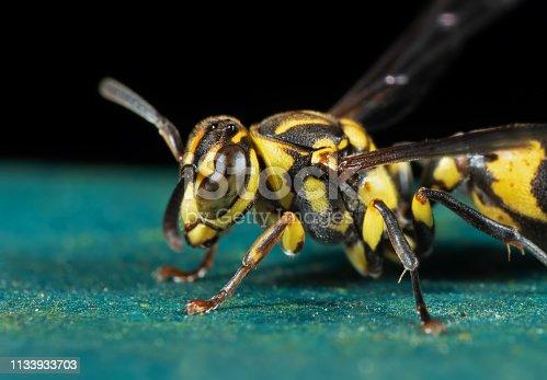 1125541278istockphoto Macro Photo of Head of Wasp on Turquoise Floor 1133933703