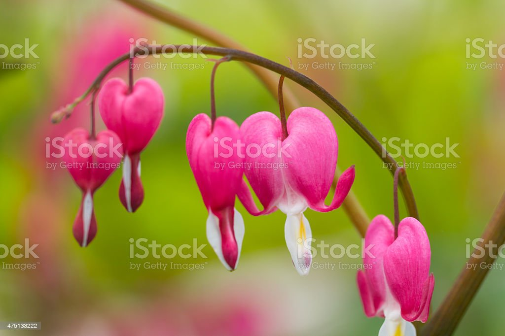 Macro photo of hearted-shaped flower blossoms stock photo