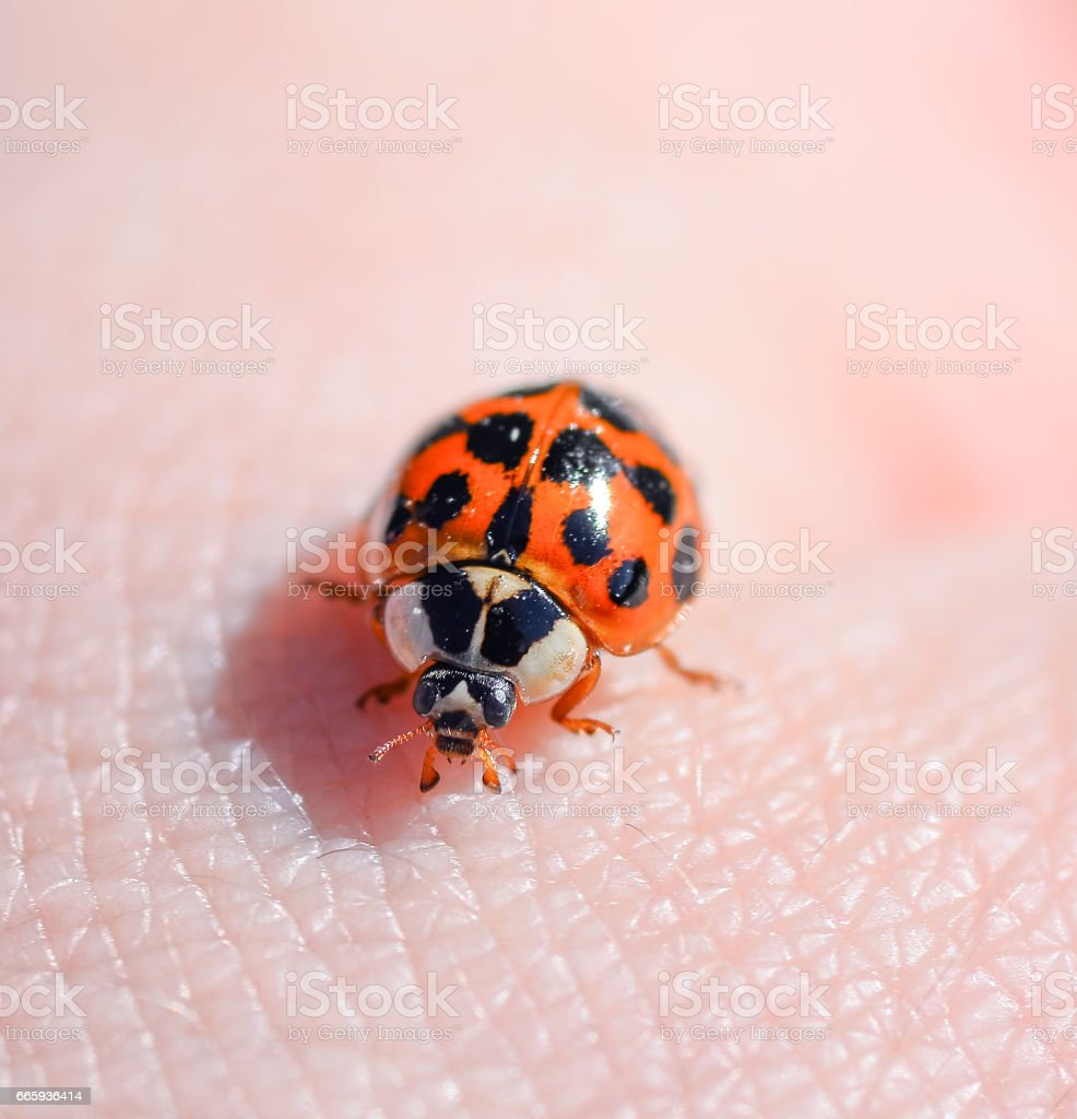 Macro photo of insect ladybug. stock photo