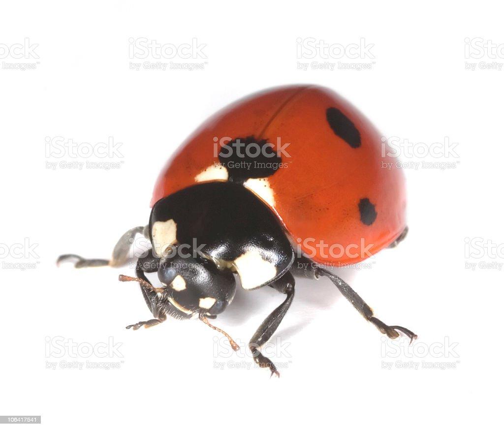 Macro photo of Ladybird isolated on white background. stock photo