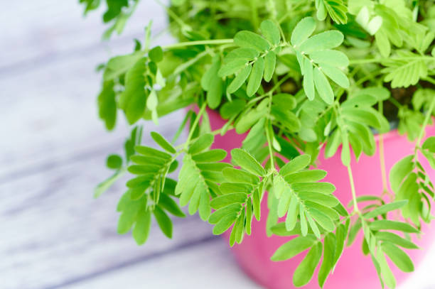 macro photo of mimosa pudica against white wooden background stock photo