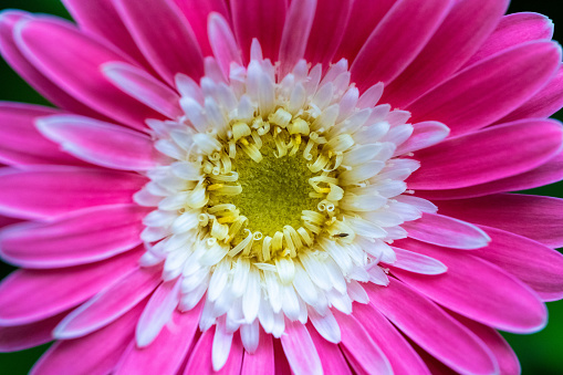 Extreme close-up macro photo of a pink, white and yellow flower in bloom.