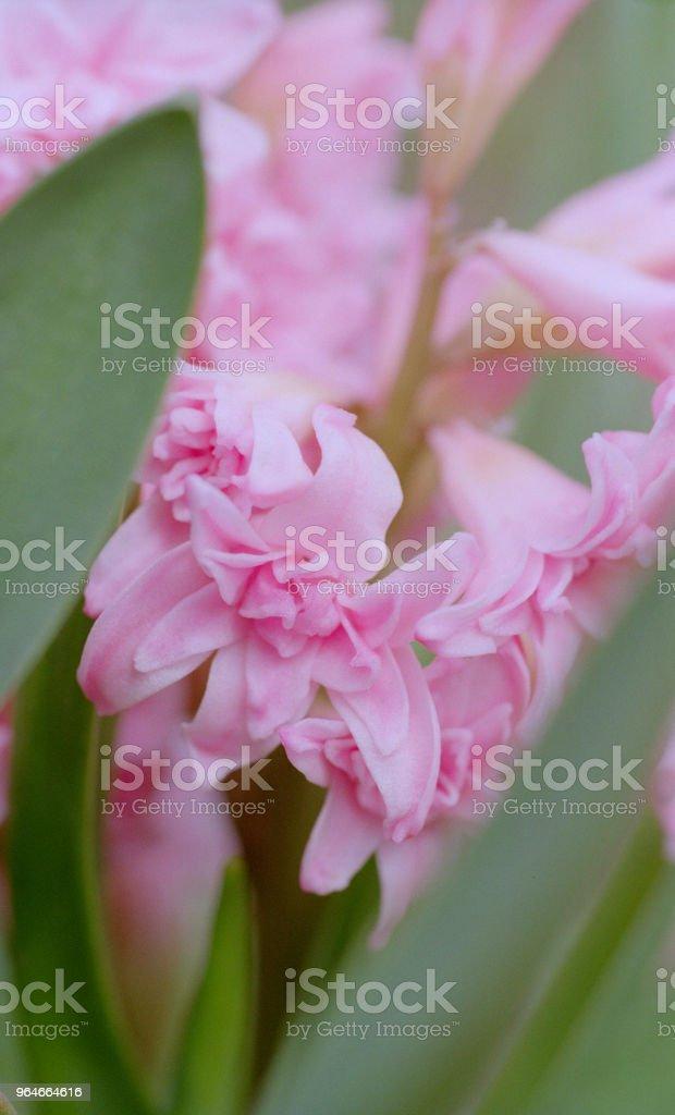 Macro photo of pink hyacinth flower. Shot on film royalty-free stock photo
