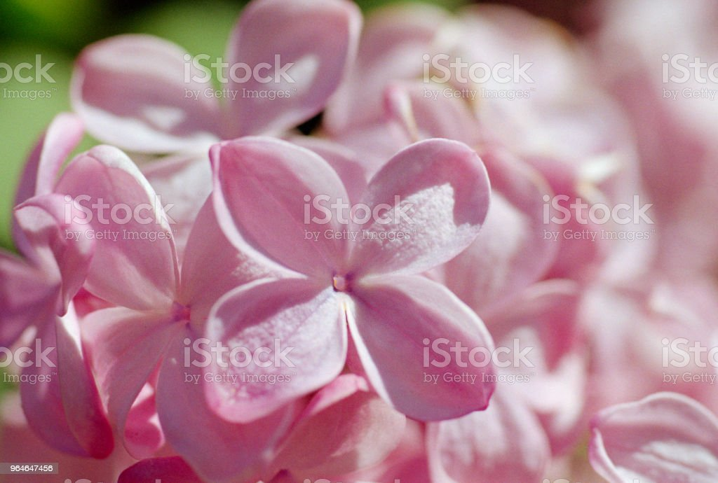 Macro photo of pink lilac flowers. Shot on film royalty-free stock photo