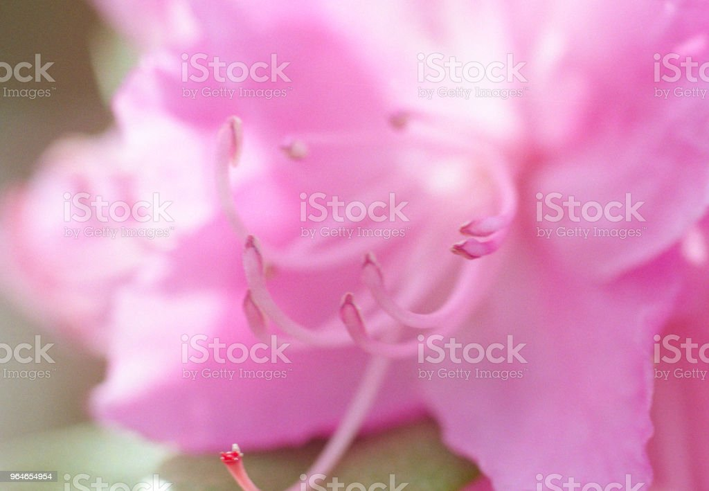 Macro photo of pink rhododendron flower petals and stamen. Shot on film royalty-free stock photo