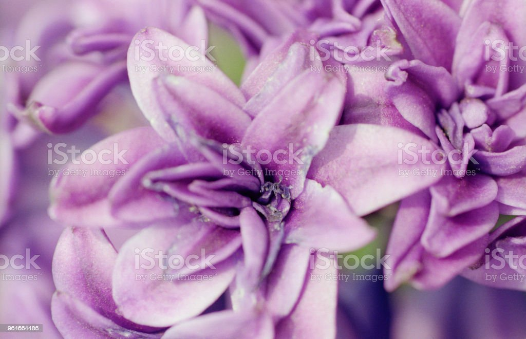 Macro photo of purple hyacinth flower. Shot on film royalty-free stock photo