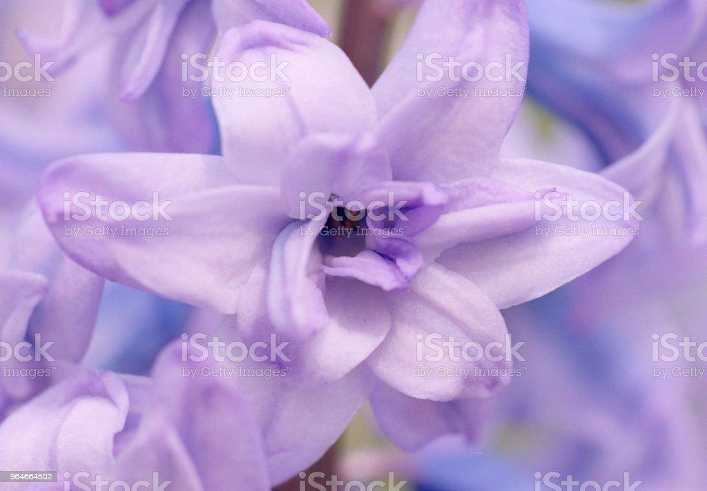 Macro photo of purple hyacinth flower. Shot on film royalty-free stock photo