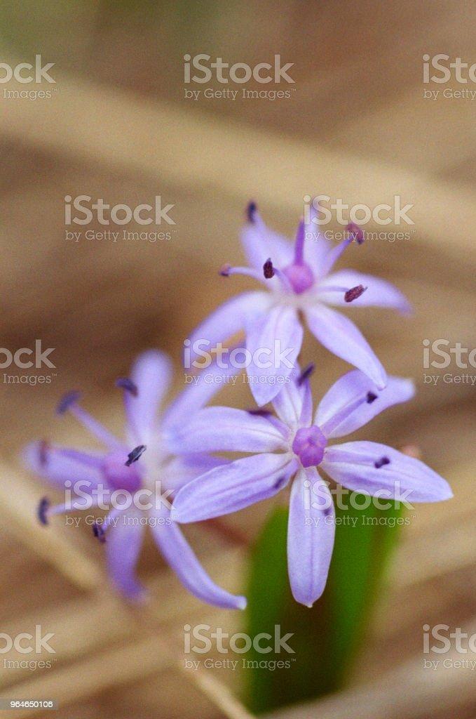 Macro photo of purple scilla bifolia, bluebell flower. Shot on film royalty-free stock photo