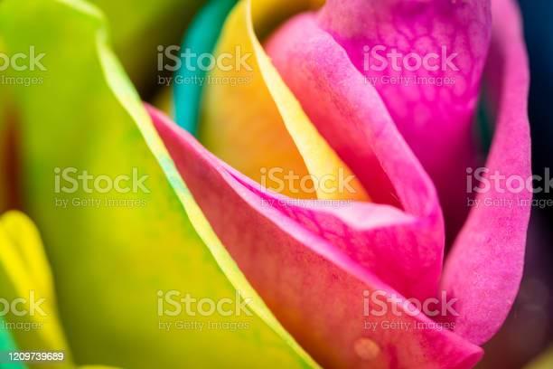 Photo of Macro photo of rainbow coloured rose petals.