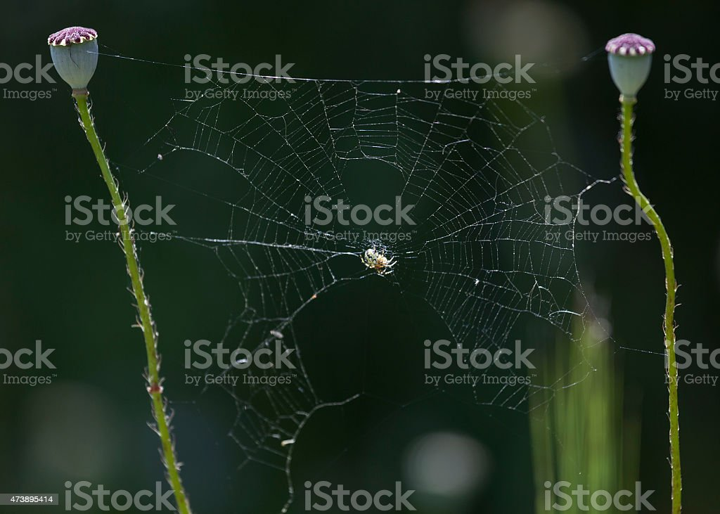 Macro photo of spider in its web on dark background stock photo
