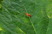 Transverse Ladybird life cycle