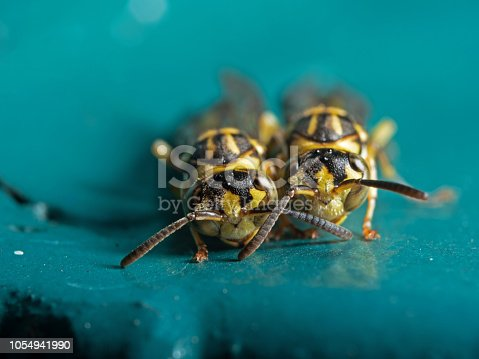1125541278istockphoto Macro Photo of Two Wasps on Blue Green Metal Material 1054941990