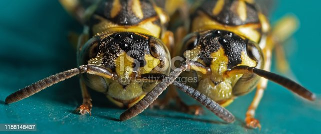 1125541278 istock photo Macro Photo of Two Wasps on Blue Green Metal Material 1158148437