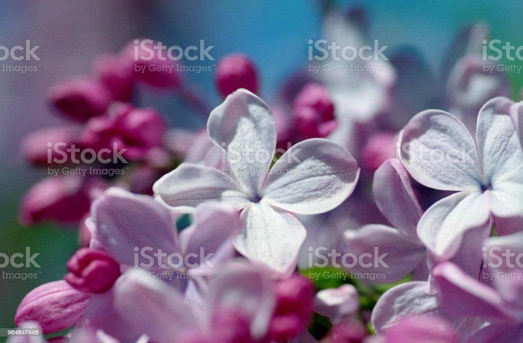 Macro photo of violet lilac flowers. Shot on film royalty-free stock photo