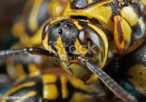 1125541278istockphoto Macro Photo of Wasp Isolated on Background 1154709292