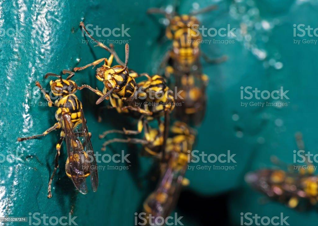 Macro foto de avispa en Material Metal verde azul - foto de stock