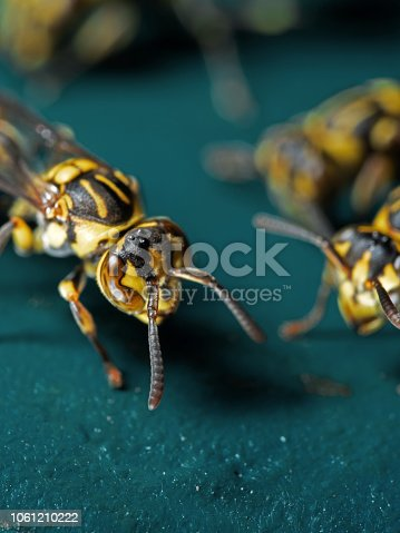 1125541278 istock photo Macro Photo of Wasp on Blue Green Metal Material 1061210222