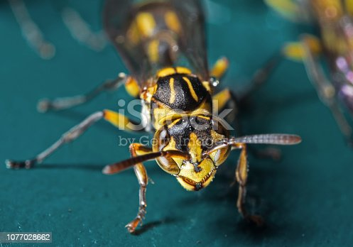 1125541278istockphoto Macro Photo of Wasp on Blue Green Metal Material 1077028662