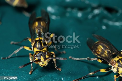 1125541278istockphoto Macro Photo of Wasp on Blue Green Metal Material 1140105959