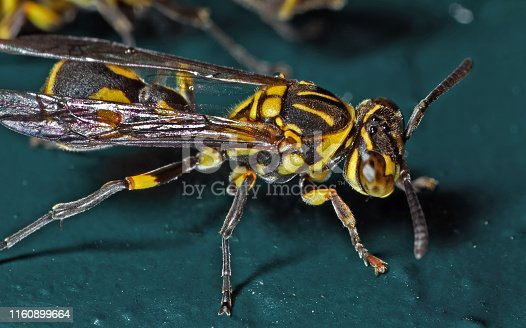1125541278istockphoto Macro Photo of Wasp on Blue Green Metal Material 1160899664