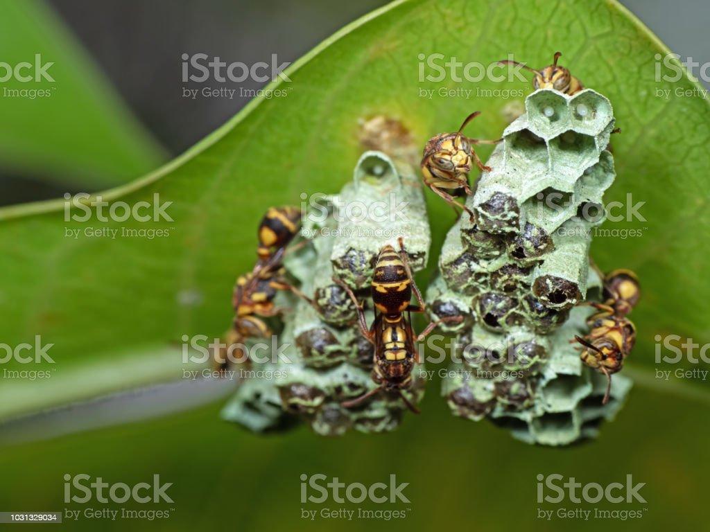 Macro foto de avispas en el nido con huevos en hoja verde - foto de stock