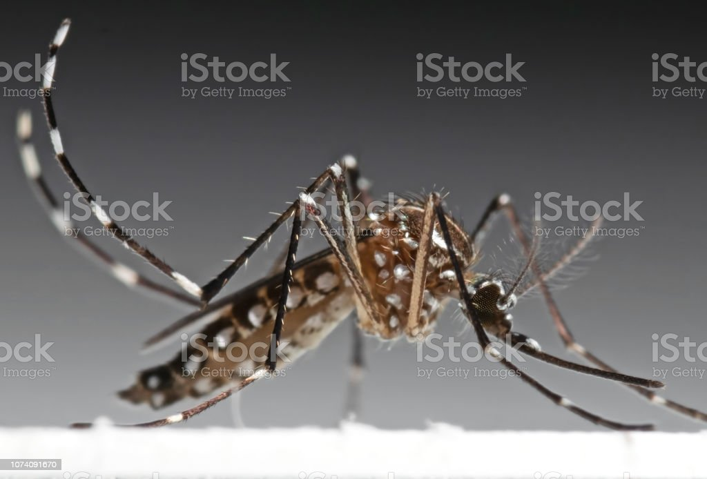 Macro foto de la fiebre amarilla Mosquito aislada sobre fondo - Foto de stock de Aedes aegypti libre de derechos